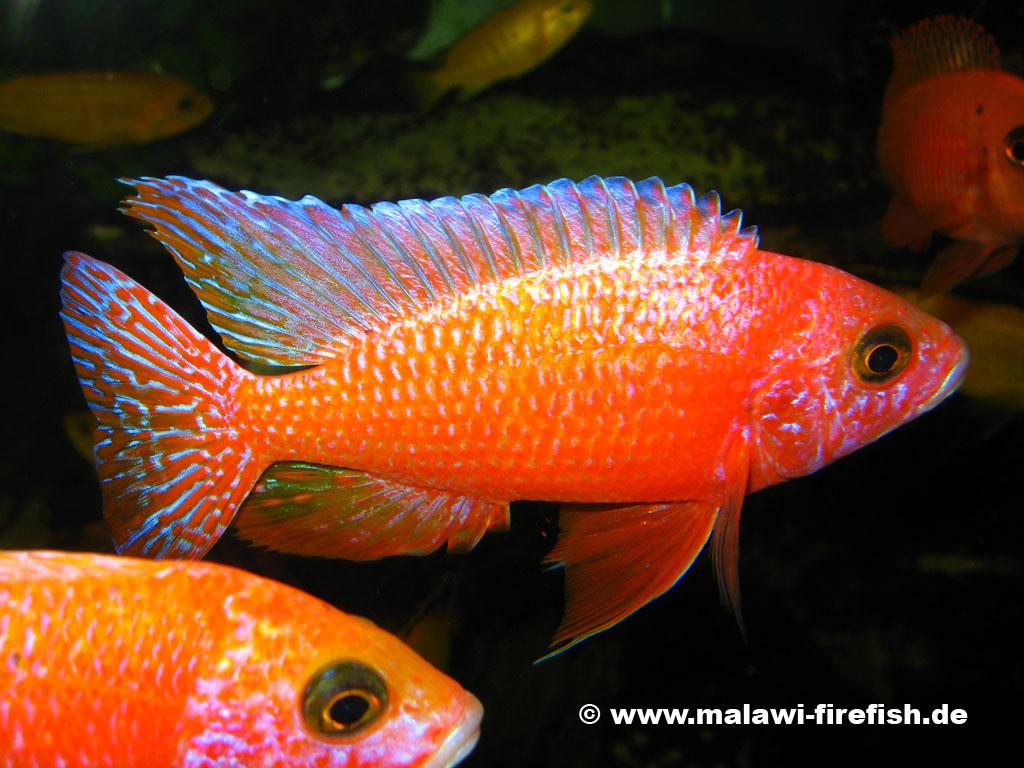 Aulonocara image 100 for Malawi buntbarsch